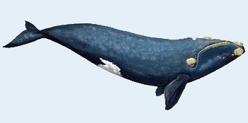 Baleine franche austral