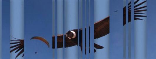 condor-parapente