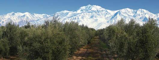 olive argentine