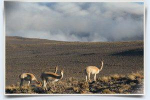 vigogne vicuña