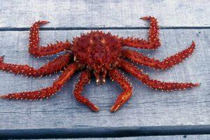 araignee de mer