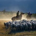 Gauchos et moutons