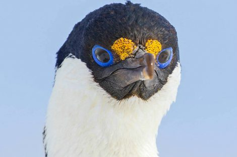 cormoran yeux bleus