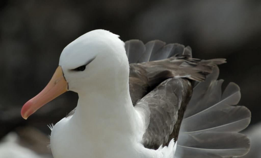 malouines albatros