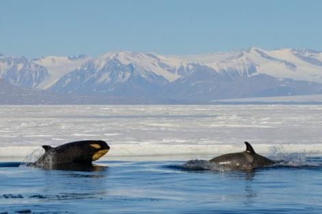 orques ross