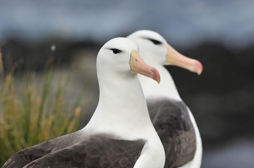 albatros sourcils noirs